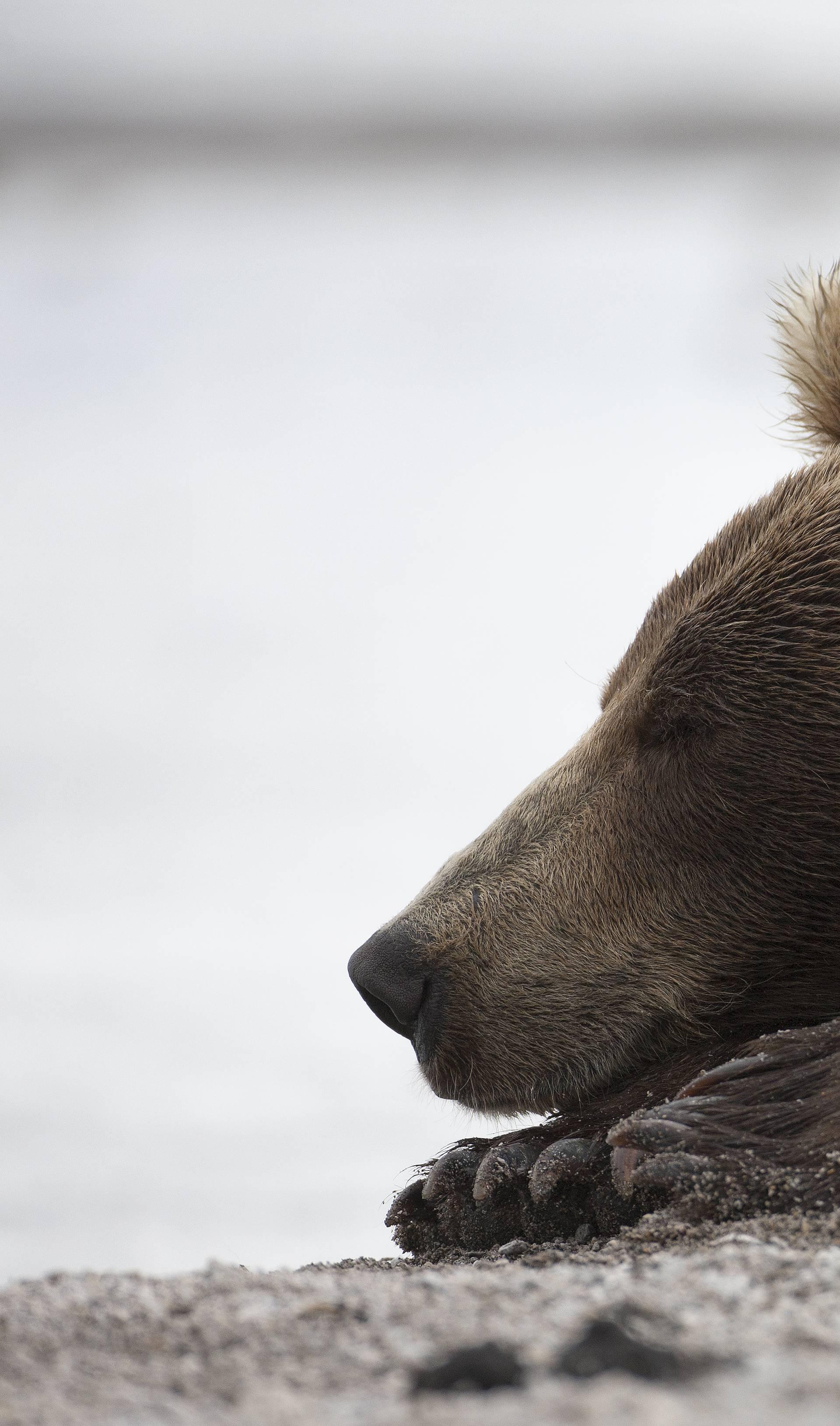 Medvjedica doplivala do otoka Krka, a onda ju ustrijelio lovac