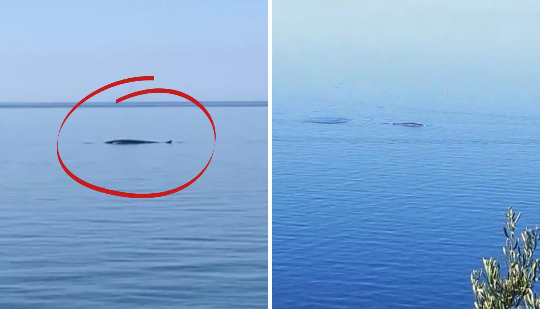 Čudesni prizori: Kit plivao kod Orebića, 200 metara od plaže