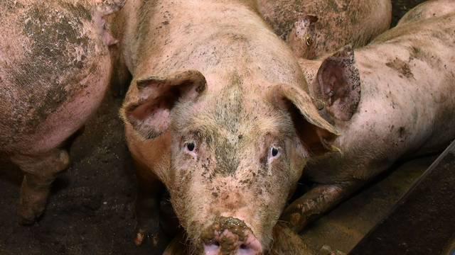 Stroži zakon: Uskoro se svako klanje svinja mora prijaviti