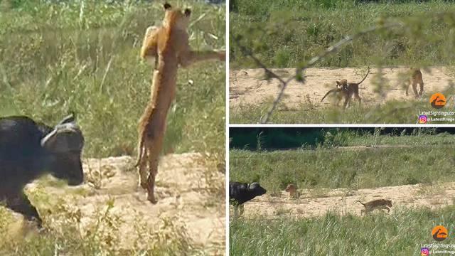 Bivol spasio guštera od lava: Lansirao divlju mačku u zrak