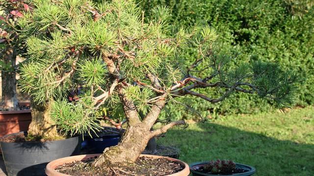 Jedini u Europi uzgajaju mini bonsai drvca od domaćih vrsta