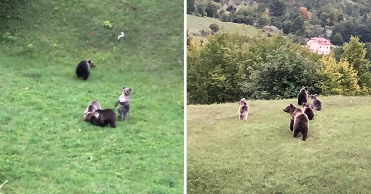 Pogledajte video: Mama i četiri mlada medvjeda snimljeni u vožnji na Velebitu