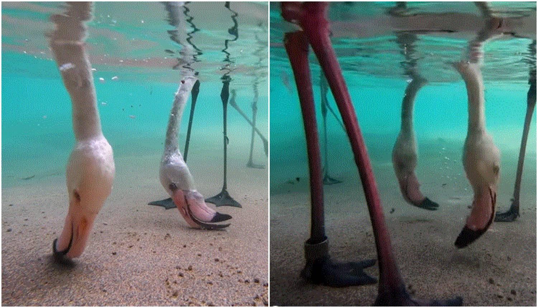 Nevjerojatno: Preslatka snimka flamingosa prikazuje kako jedu