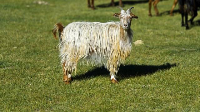 Prijeti nestašica kašmirske vune - tisuće kozlića nisu preživjele