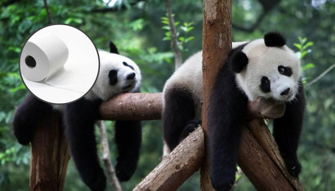 Kina: Izmet pandi koristi se za WC papir