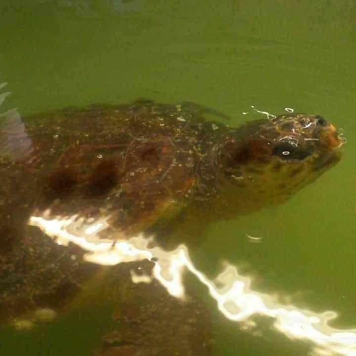 Slovenski turisti spasili kornjaču i nazvali ju Špela: Sad je u Puli
