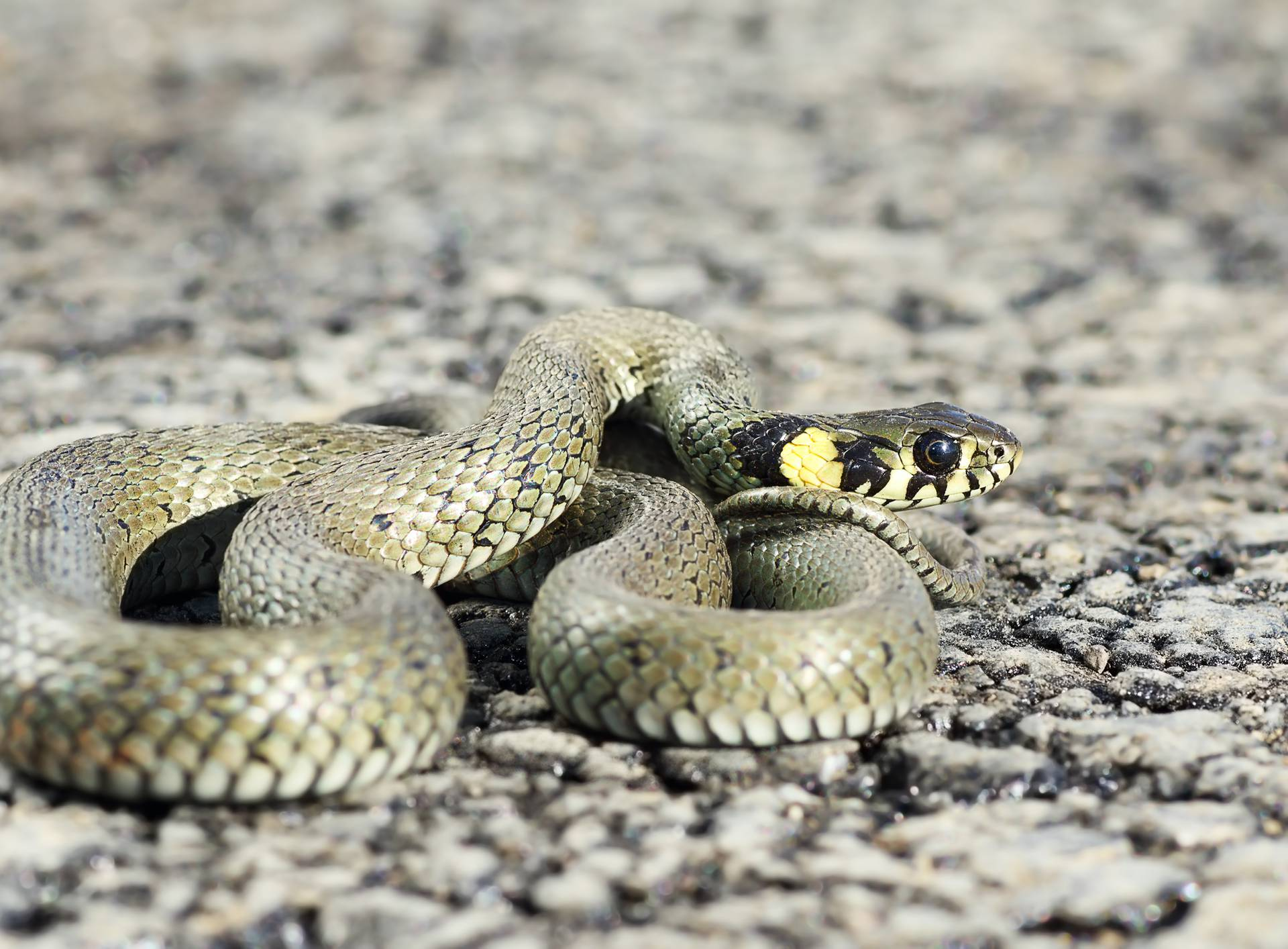 grass snake ready to attack