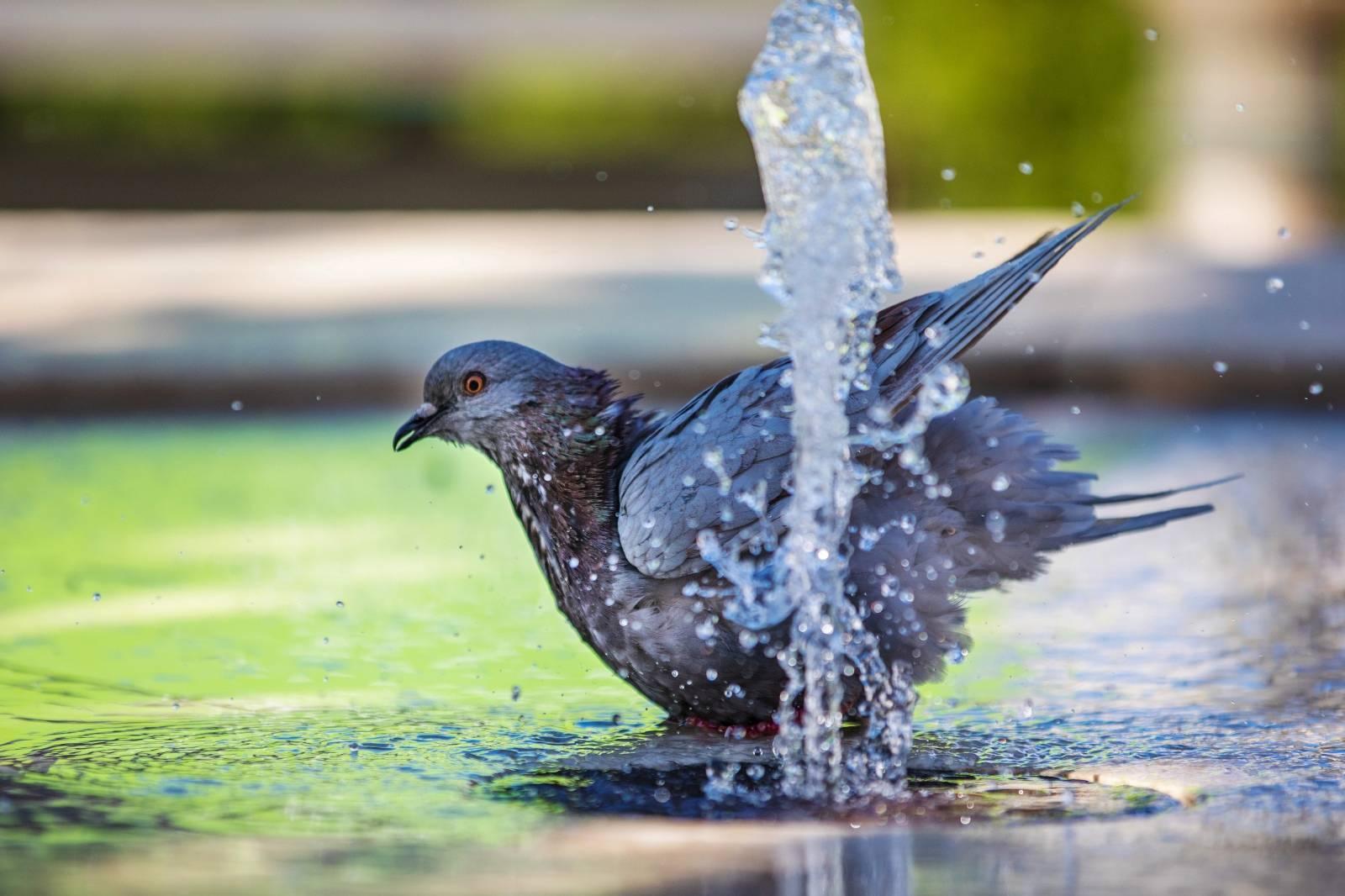Pula: Golubovi se otuširali na fontani