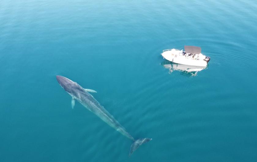 Snimke iz zraka: Pronašli još jednog velikog kita u Jadranu