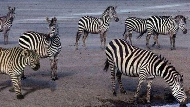 Zebre na pojilištu: Ali, nešto na fotki nije kako treba - vidite li?