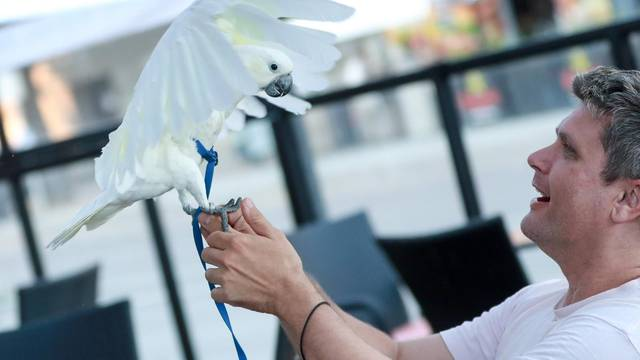 Velika bijela papiga Koko - najbolje društvo za jutarnju kavu u gradu