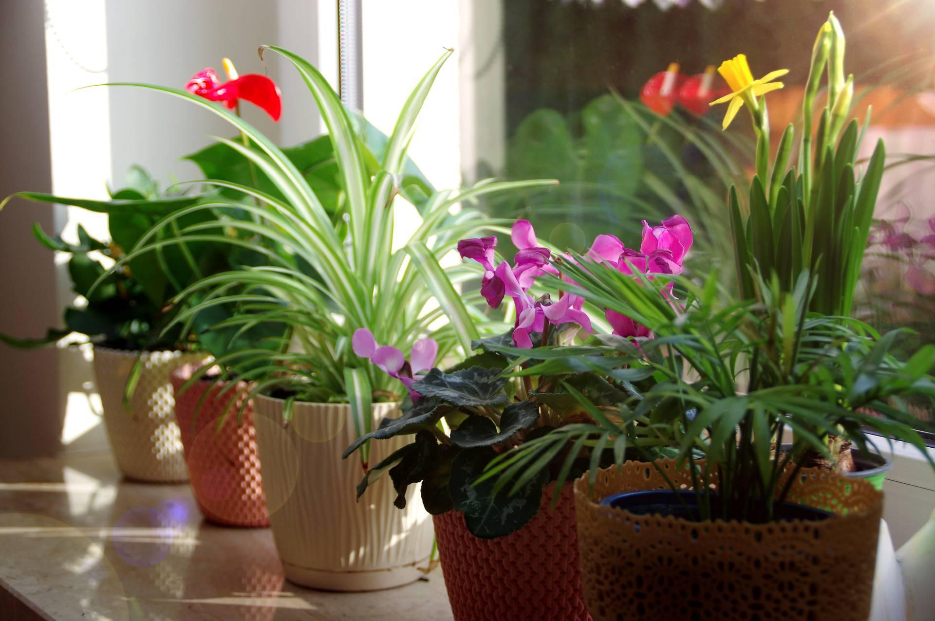 Sobno cvijeće zalijevajte ujutro, a količina vode odgovara sezoni