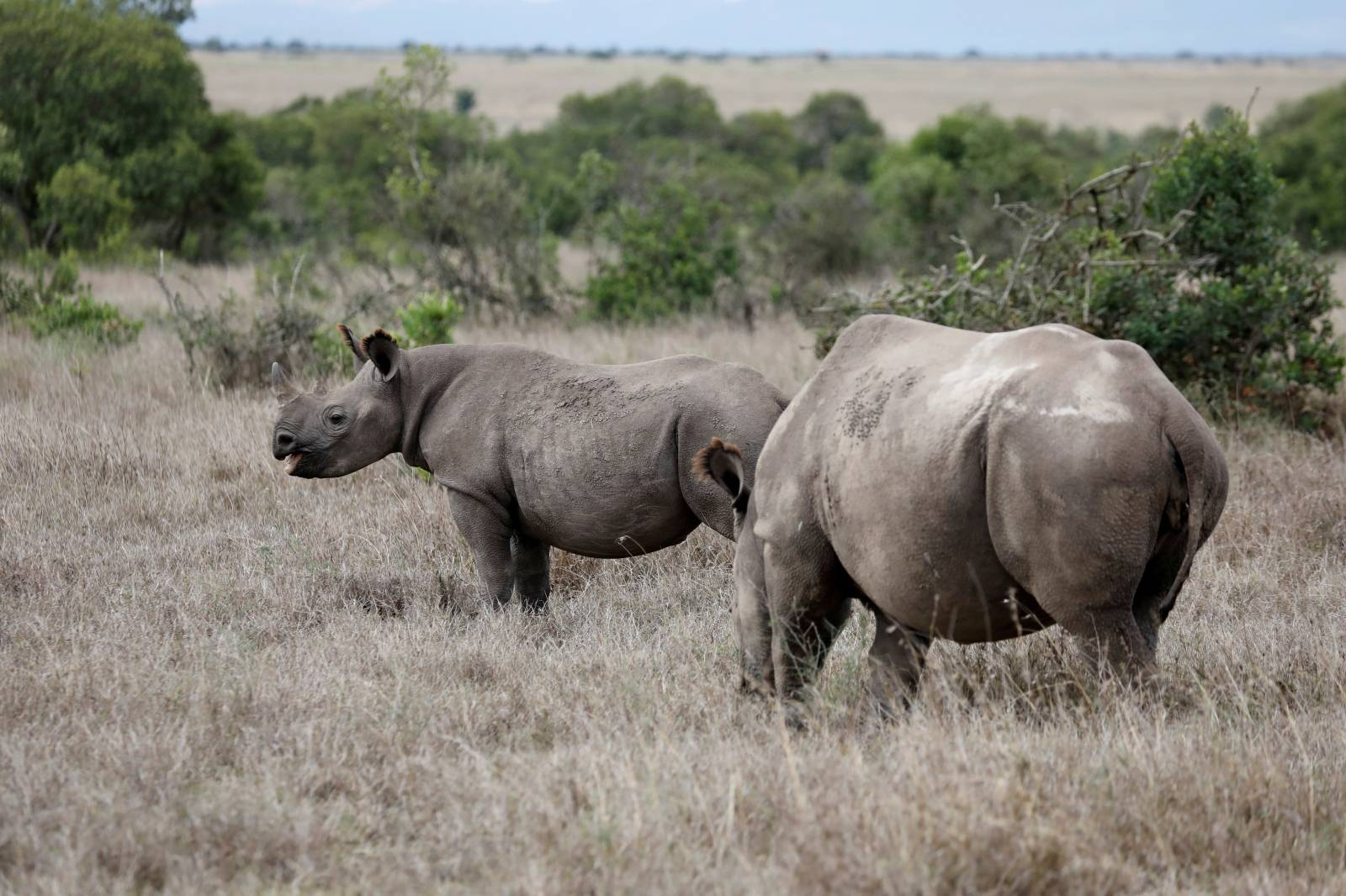 FILE PHOTO: A black rhino calf and its mother are seen at the Ol Pejeta Conservancy in Laikipia national park