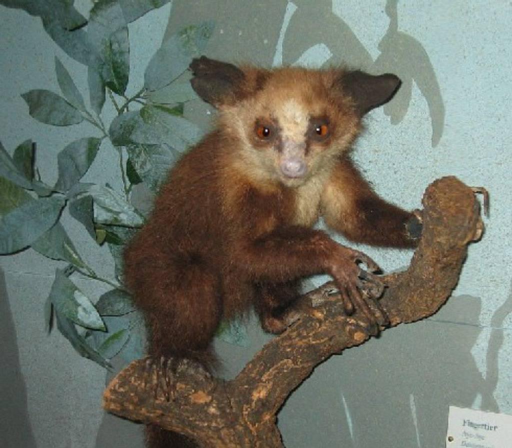 Bradypus/Wikipedia