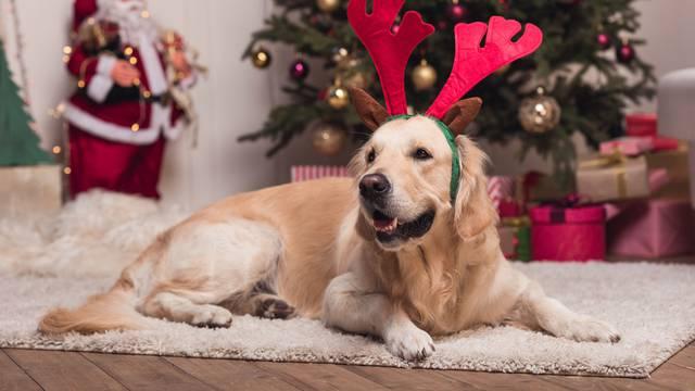 golden retriever dog in antlers