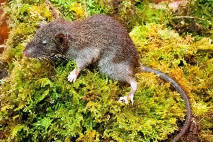 Znanstvenici otkrili novu vrstu sisavca u planinama Indonezije