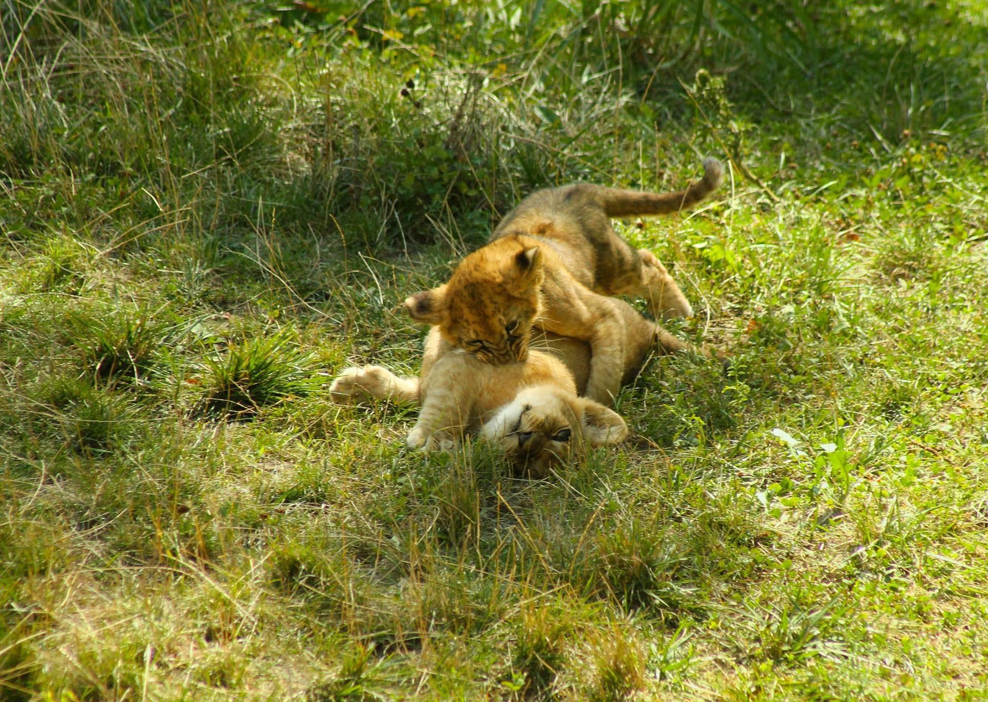 Mladi lavlji prinčevi izašli su na ljetno sunce kako bi se poigrali