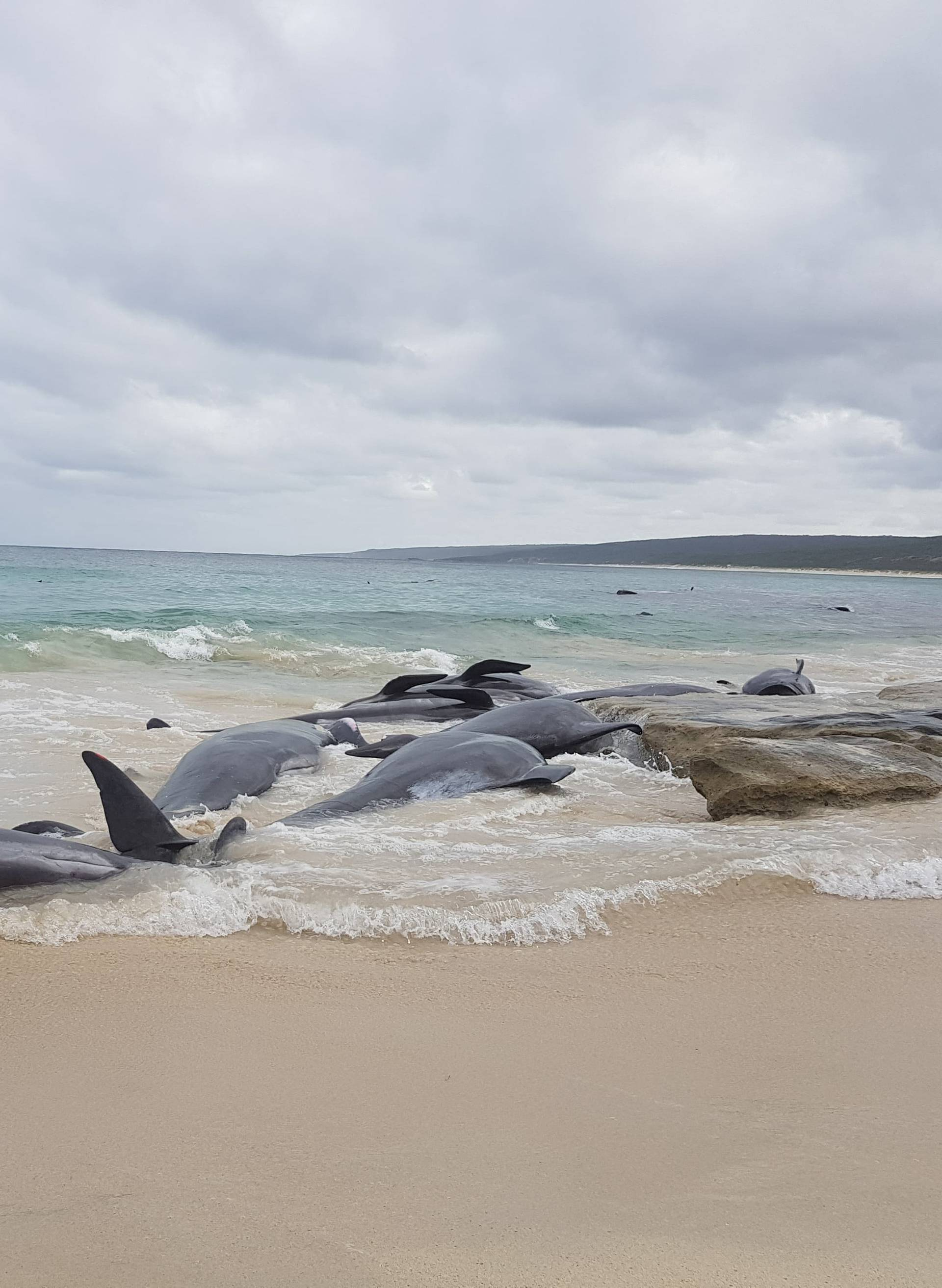 Stranded whales on the beach at Hamelin Bay