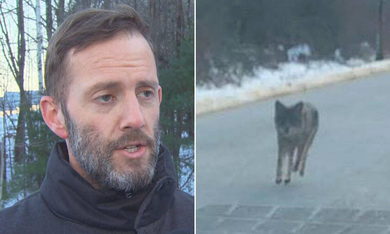 Tata heroj: Kojot mu je napao sina, ubio ga je golim rukama