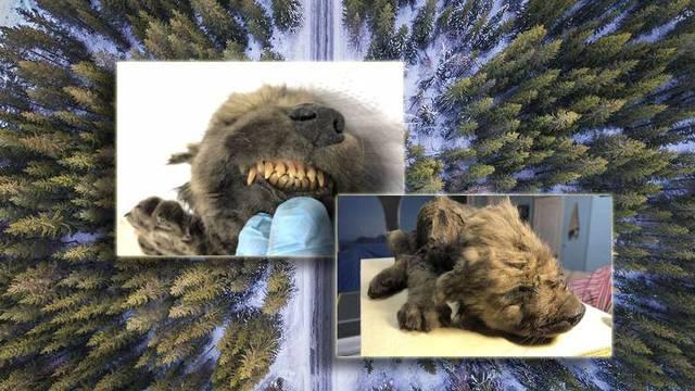 U Sibiru su pronašli 'zaleđenog psa': Star je 18 tisuća godina!