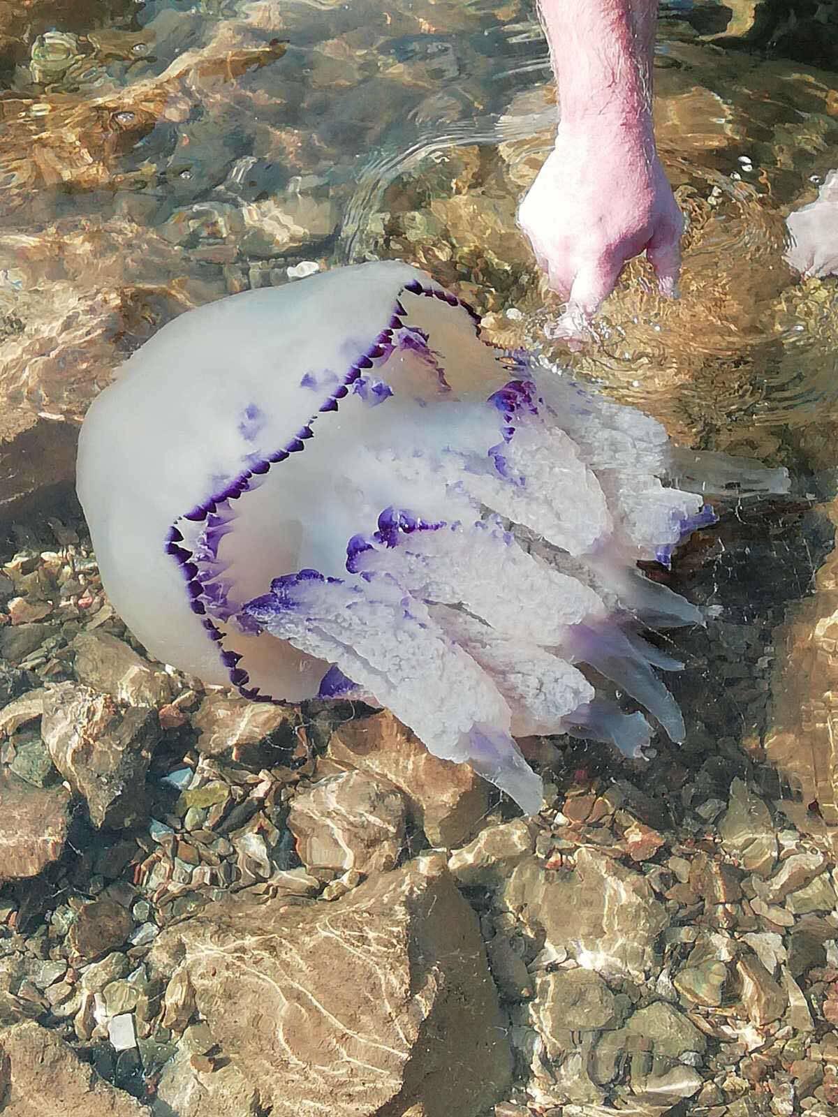 Meduza zaplivala s kupačima: 'Ima 6 kilograma, ogromna je'