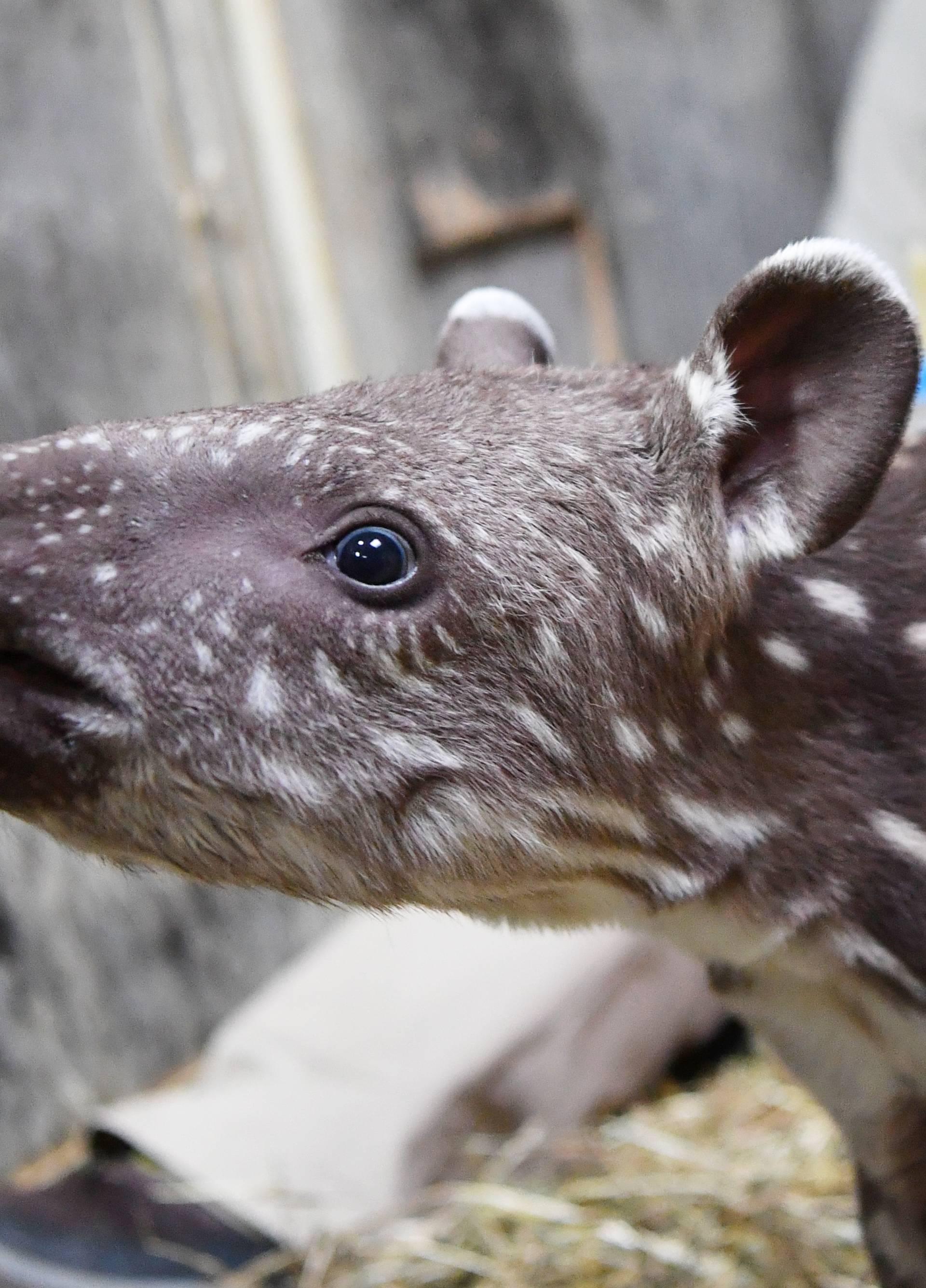 14-day-old South American tapir presented