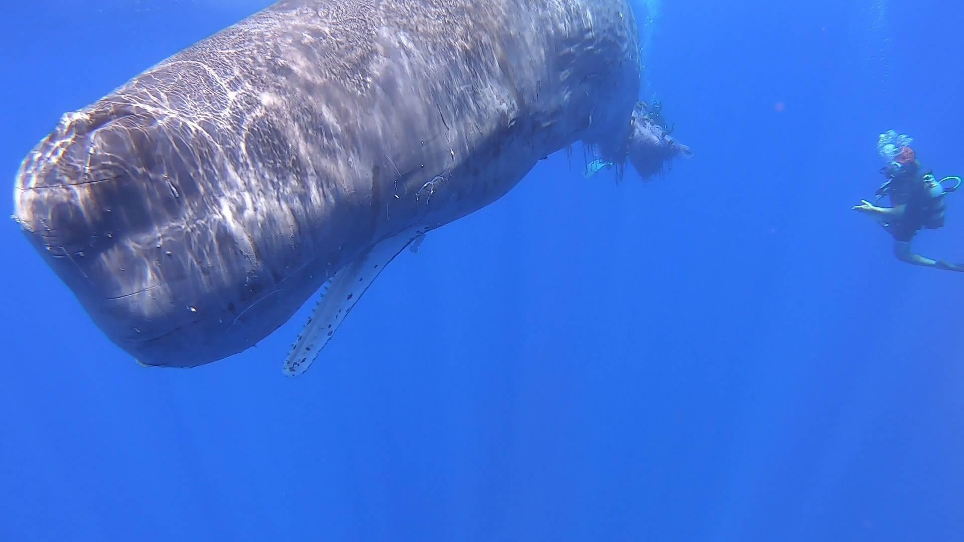 Italian coastguards work to free sperm whale entangled in fishing net