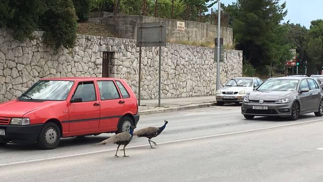 Prošetali Splitom: Paunovi su opet izazvali gužvu u prometu