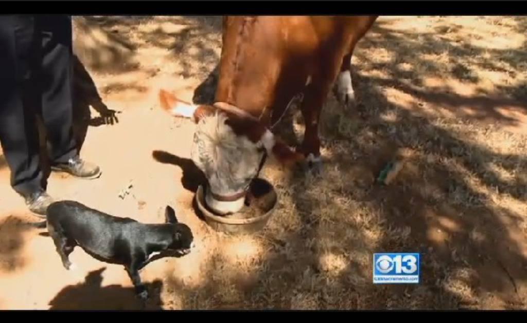 Krava misli da je pas: Penje se u auto i jede iz zdjelice