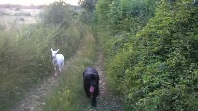 Ljubav je na selu: Pas Medo i koza Đurđa su najbolji prijatelji