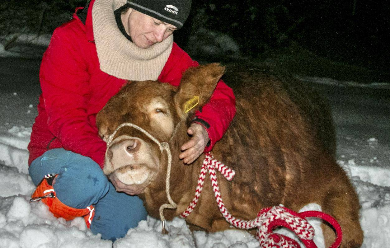 "Runaway cow ""Büxi"" is seized"