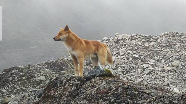 Drevna pasmina 'pjevajućeg' psa opet se pojavila u Indoneziji