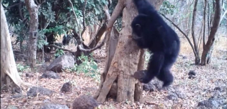Neobično ritualno ponašanje: Vjeruju li čimpanze u Boga?