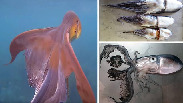 Invazija hobotnica: Bobuljak je 'poludio' za toplim Jadranom