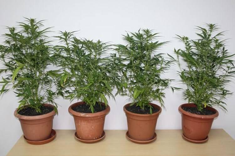 Dvojica su na balkonu stana uzgajali u teglama marihuanu