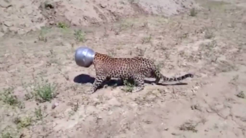 Nespretni leopard! Ožednio je, a na kraju je to skupo platio...