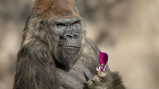 Gorile iz Zoo vrta u San Diegu uspješno se oporavile od korone