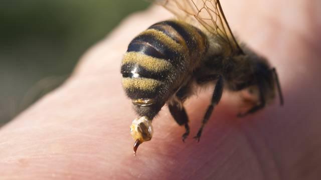 Jeste li alergični na ose i pčele možete saznati i prije uboda
