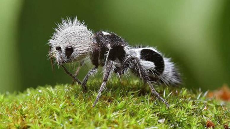 Mrav panda: Mužjak i ženka skupa provode cijeli život