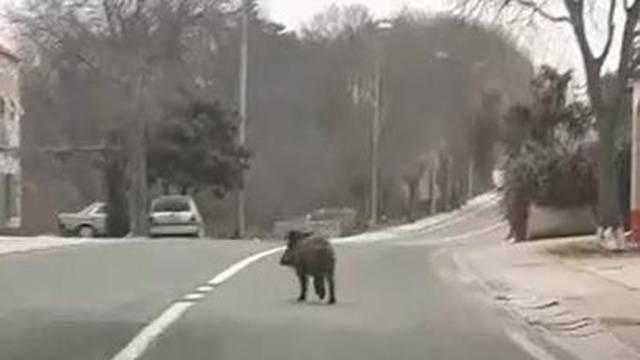 Divlja svinja šetala Zadvarjem: 'Dolaze je tragaju za hranom'
