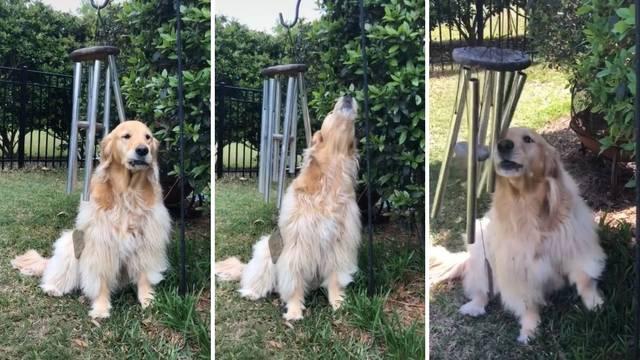 TikTok senzacija: Ovaj pas zbilja uživa u zvuku zvončića za vjetar