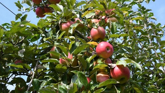 Počela berba jabuka, ali proizvođači nezadovoljni zbog ranijih šteta od tuče
