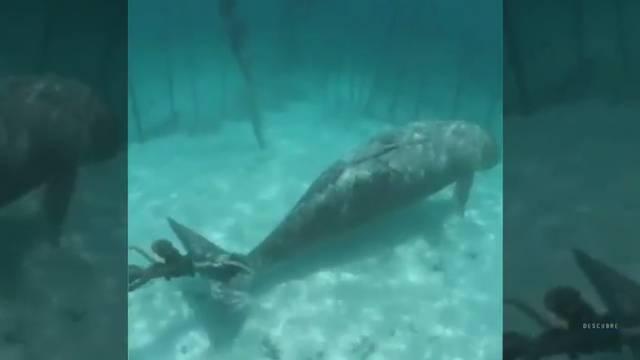 Mučenje: Dugonga zavezali i stavili u kavez kao atrakciju