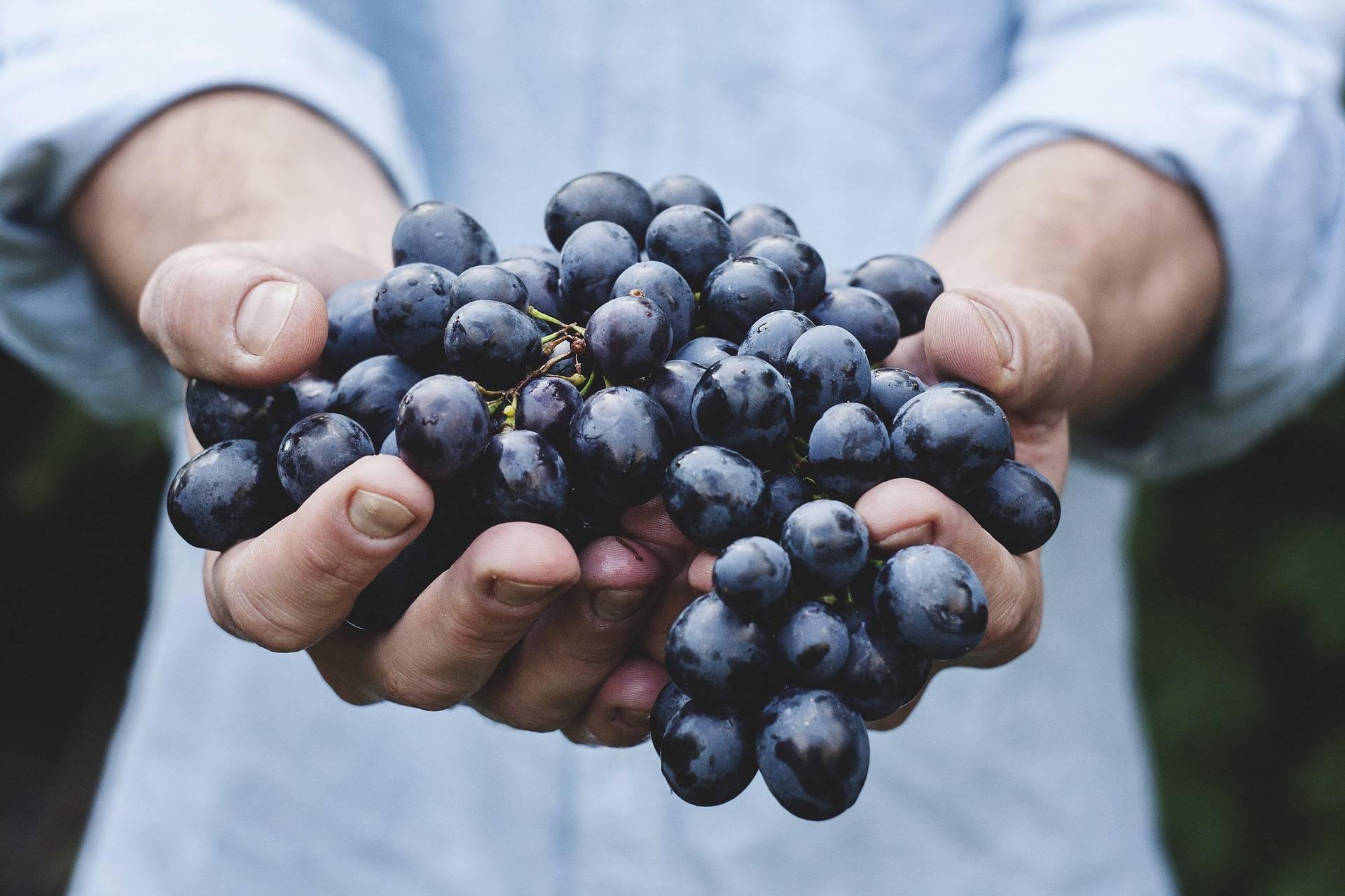 Vjerovanja za Vincekovo: Ako sunce peče, obilno vino teče...