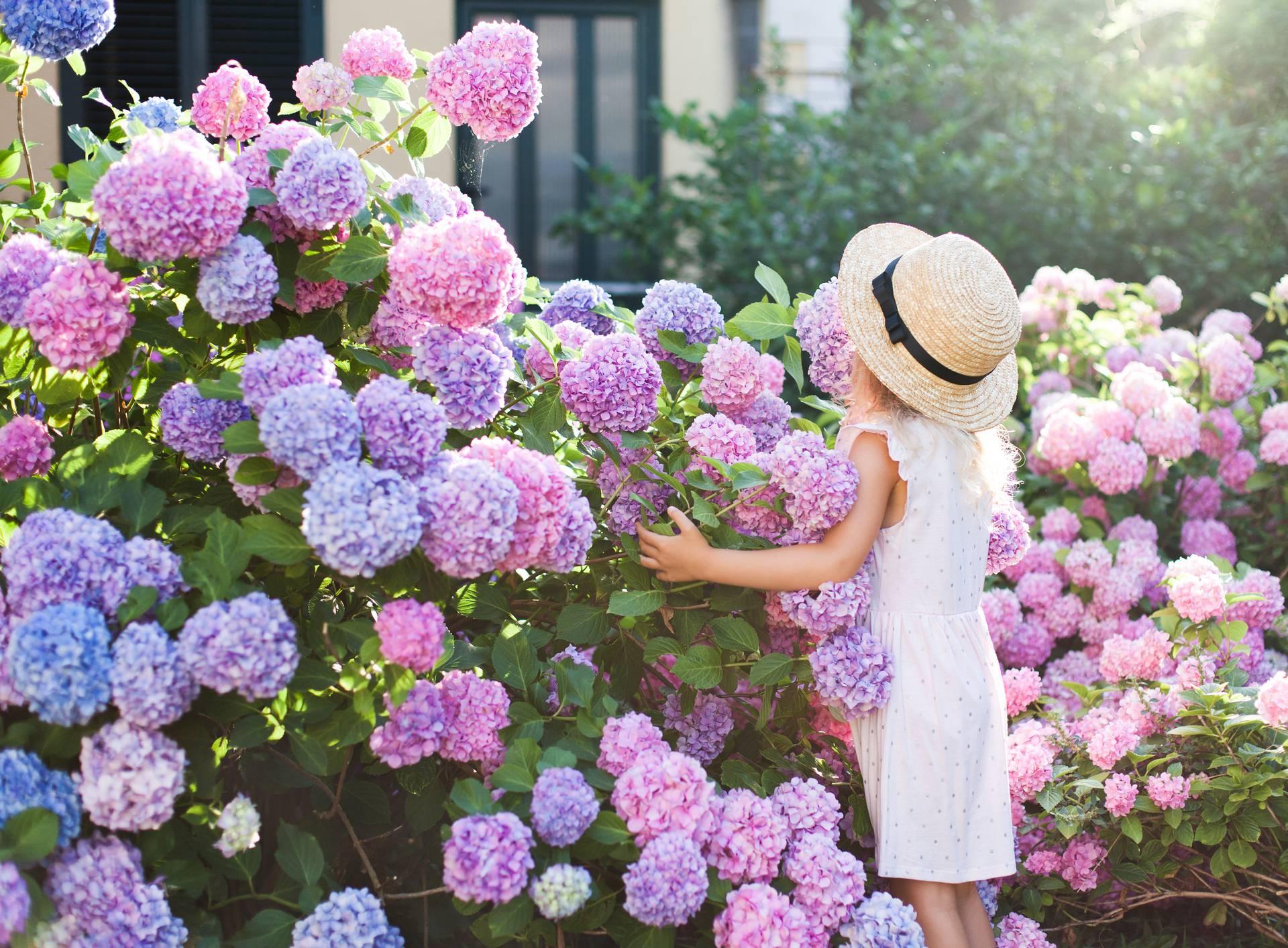 Ljepotica hortenzija: Svi je žele imati na stolu, vrtu ili vjenčanju