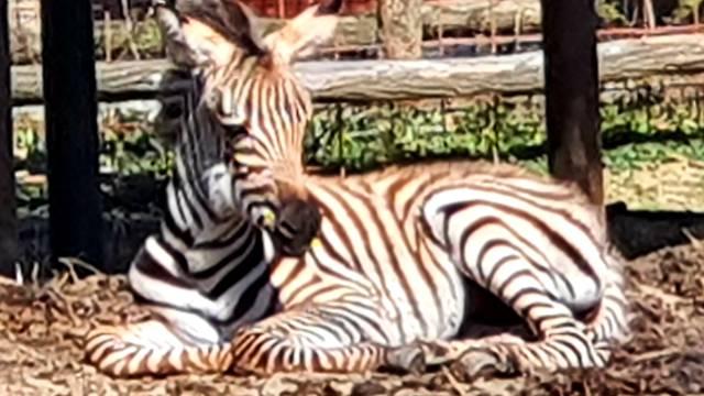 Maloj zebri traže ime: Šaljite prijedloge ZOO-u Zagreb