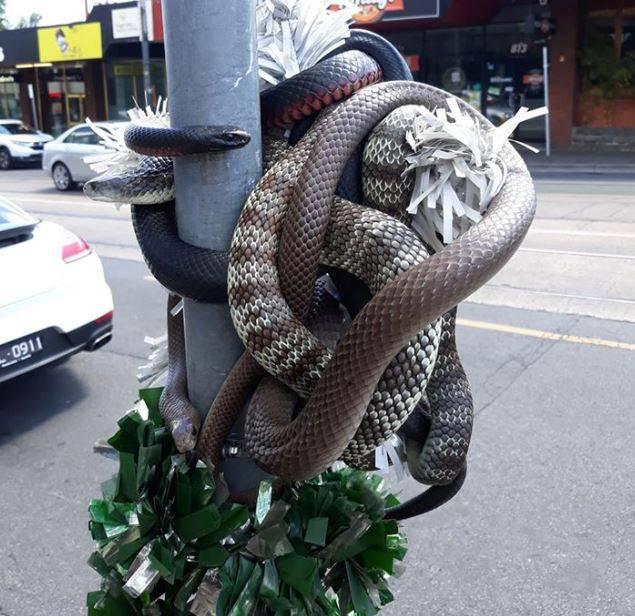 Samo u Australiji: Omotane zmije kao božićna dekoracija