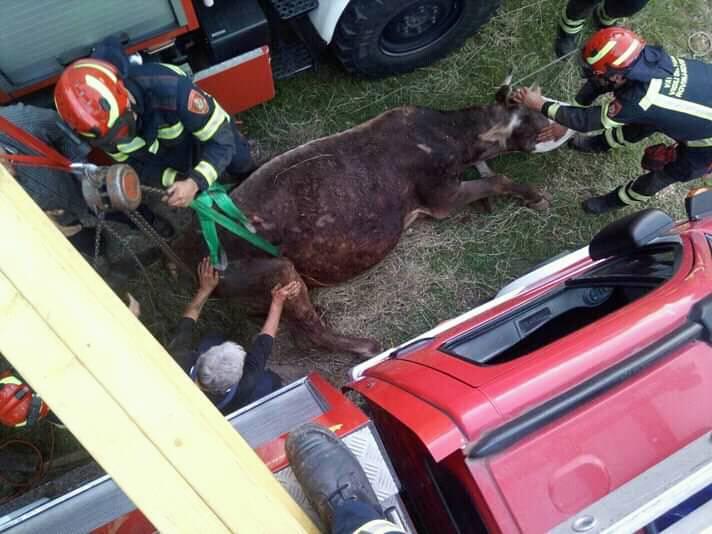 Upala je u kanal za popravak auta: Vatrogasci izvlačili kravu