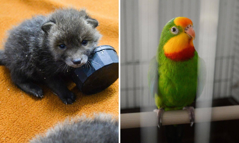 Stigli u ZOO: Papagaj Arnold i lisice izgubile dom u potresu