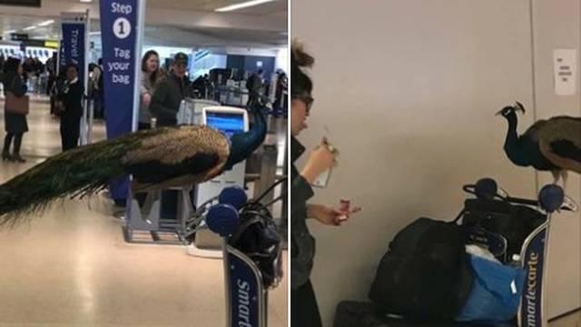 Zabranili joj da na let ukrca pauna: 'Ali on mi je podrška...'